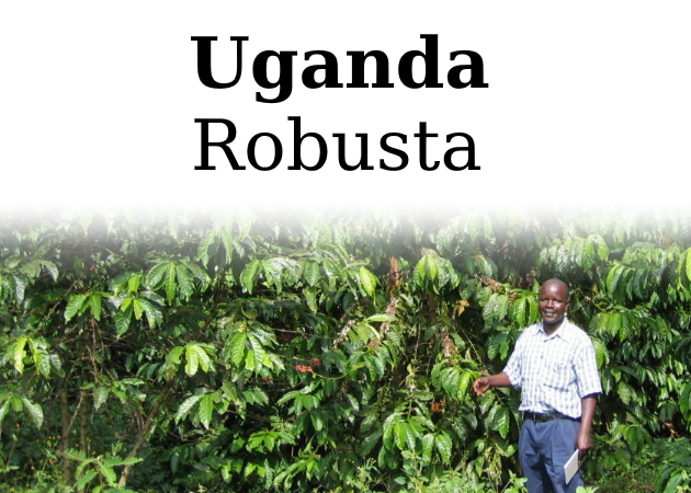 Råkaffe Robusta Uganda, 1 kg